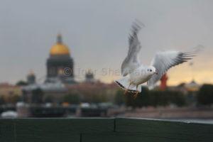 Петербургская Чайка