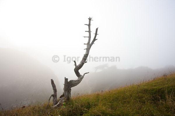 Куллаберг, дерево