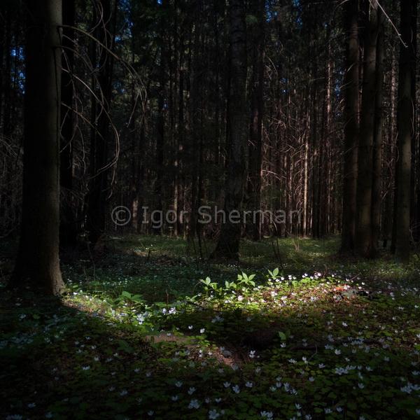 Весна в еловом лесу